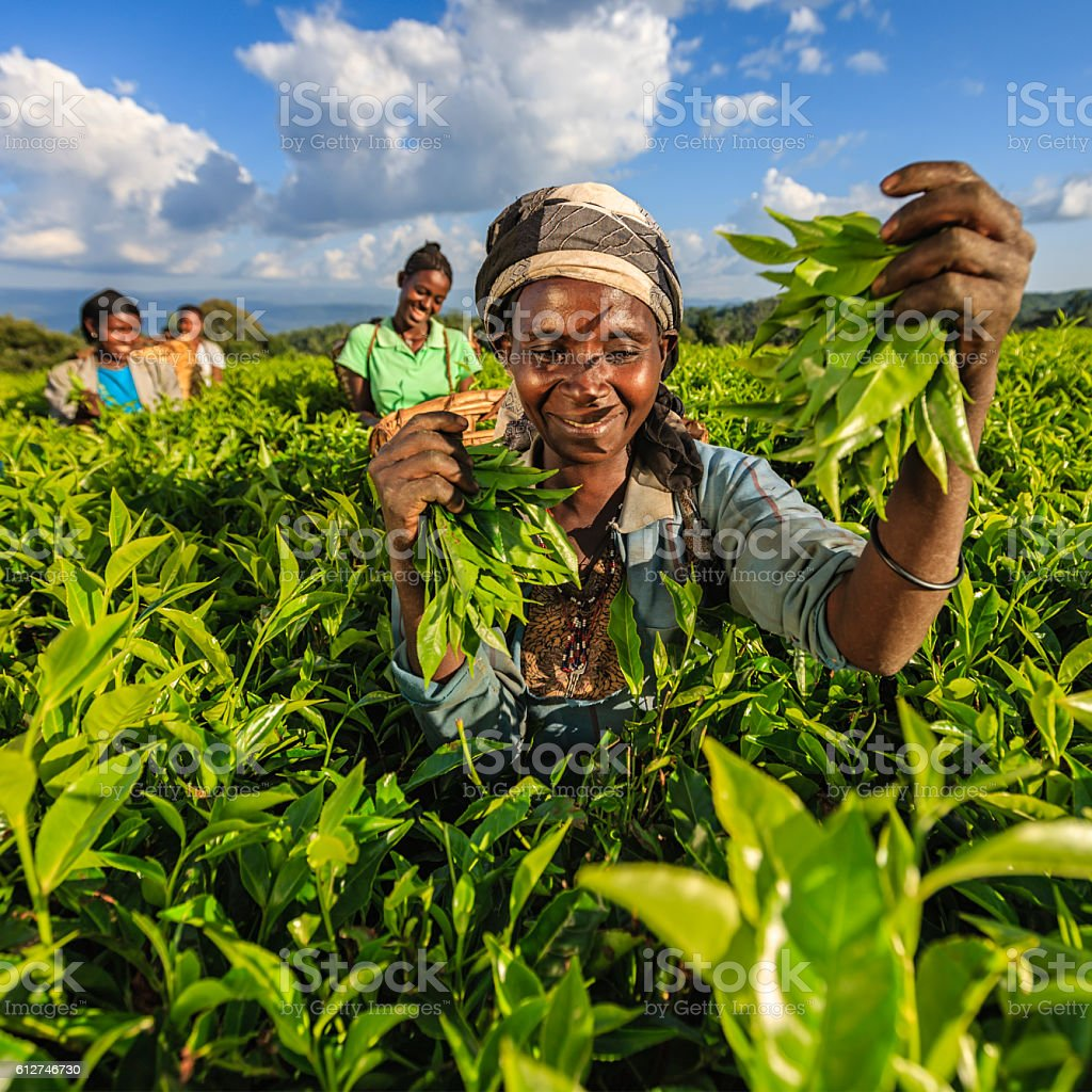 African women plucking tea leaves on plantation, East Africa stock photo