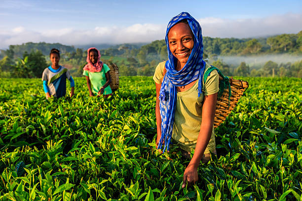 African women plucking tea leaves on plantation, East Africa - Photo
