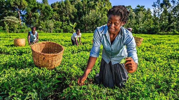 african women plucking tea leaves on plantation, kenya, east africa - kenyan culture stock photos and pictures