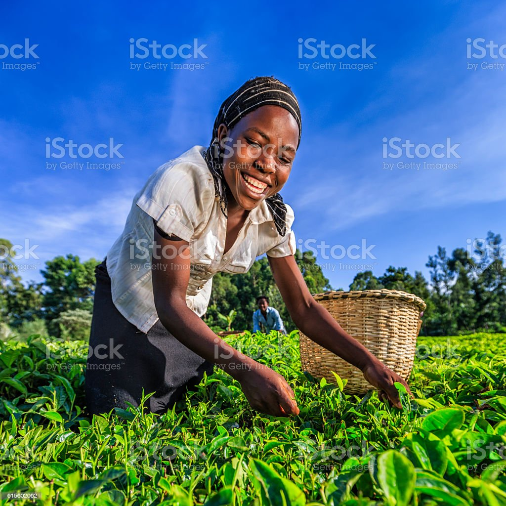 African women plucking tea leaves on plantation, Kenya, East Africa - Photo