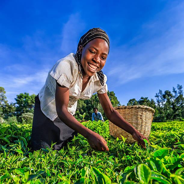 African women plucking tea leaves on plantation, Kenya, East Africa stock photo