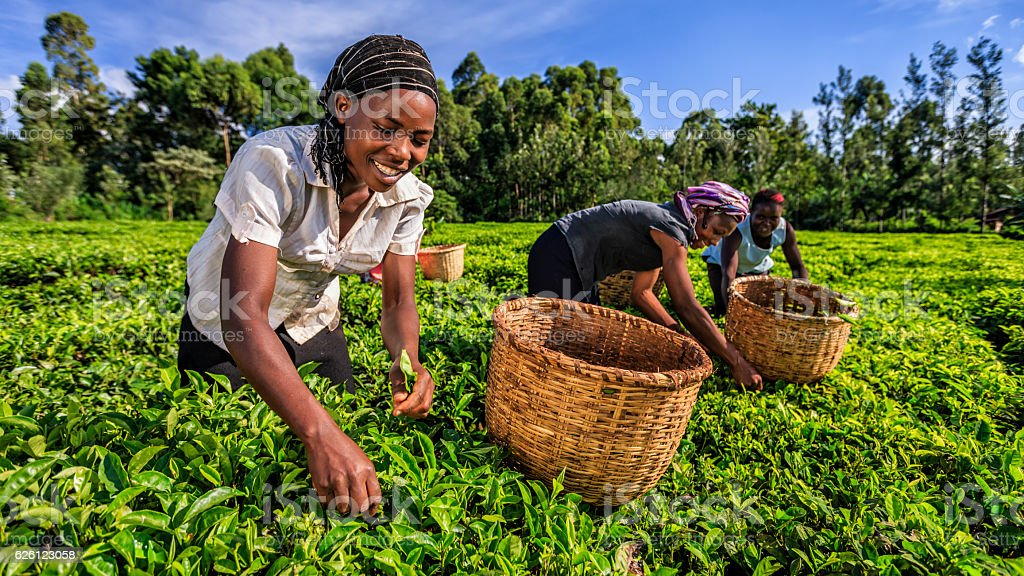 African women plucking tea leaves on plantation, Kenya, East Africa stock photo