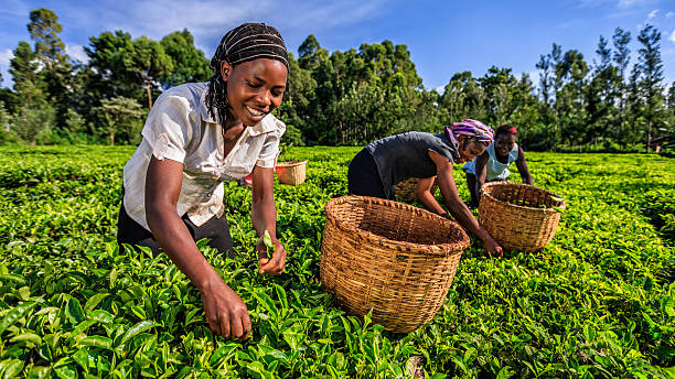 African women plucking tea leaves on plantation, Kenya, East Africa African women plucking tea leaves on plantation in Kenya, Africa. east africa stock pictures, royalty-free photos & images