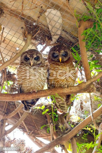 African Wood Owls perched on a branch