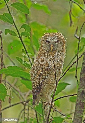 African Wood-owl (Strix woodfordii woodfordii) juvenile perched on branch, wet after rain