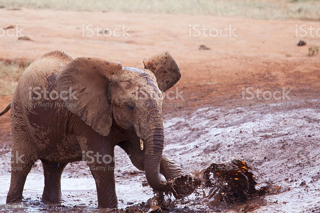 African Young Elephant in muddy water royalty-free stock photo
