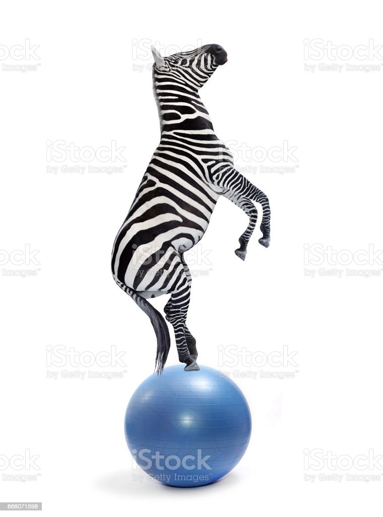 African zebra balancing on a ball. stock photo