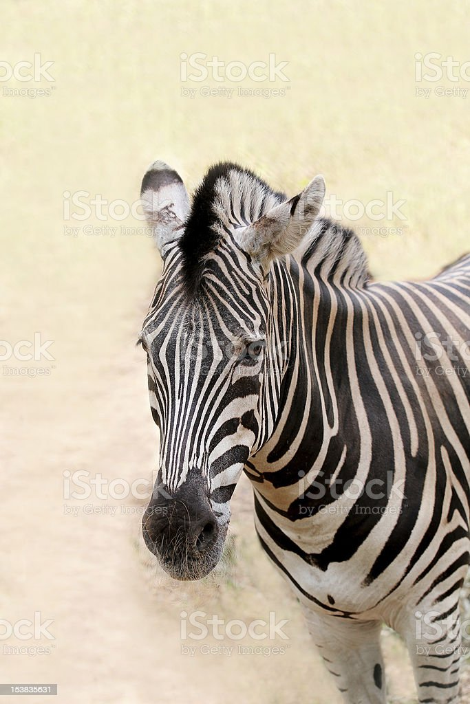 African zebra face closeup showing distinctive black and white stripes royalty-free stock photo