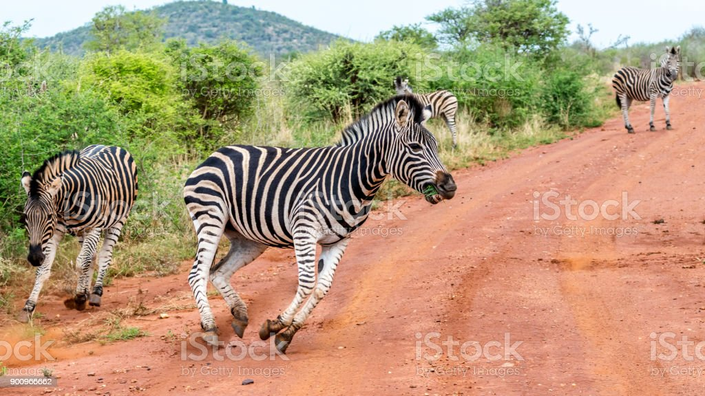African Zebra runs in front of safari vehicle stock photo