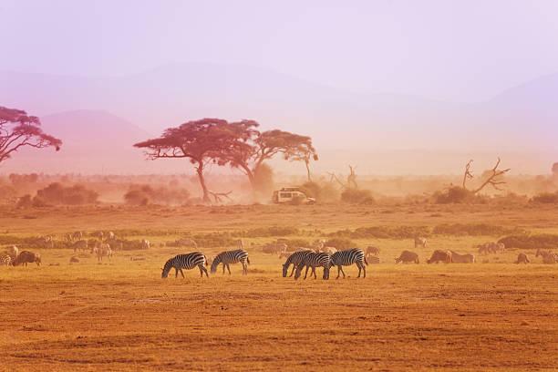 zebras em gramados africanos, queniano Parque Nacional - foto de acervo