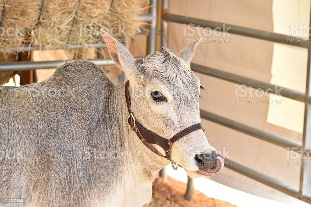 African Zebu Cow stock photo