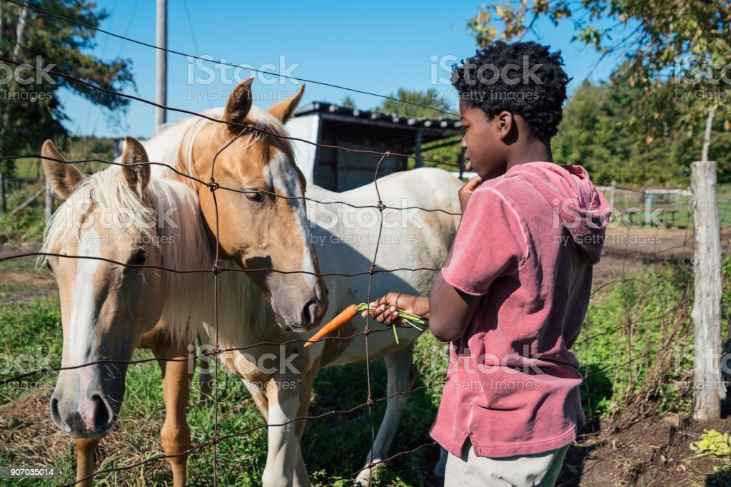 African-american boy feeding horses behind a fence. stock photo