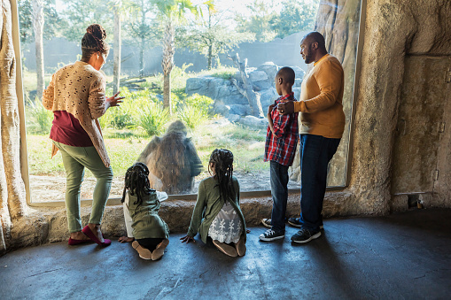 An African-American family with three children visiting the zoo, at a window looking into a large primate exhibit, watching a gorilla. The boy is 10 years old and the girls are 7 and 9. The parents are in their 30s.