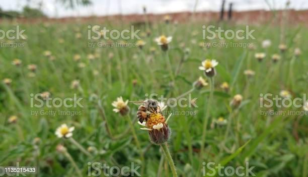 Photo of Africanized honey bee