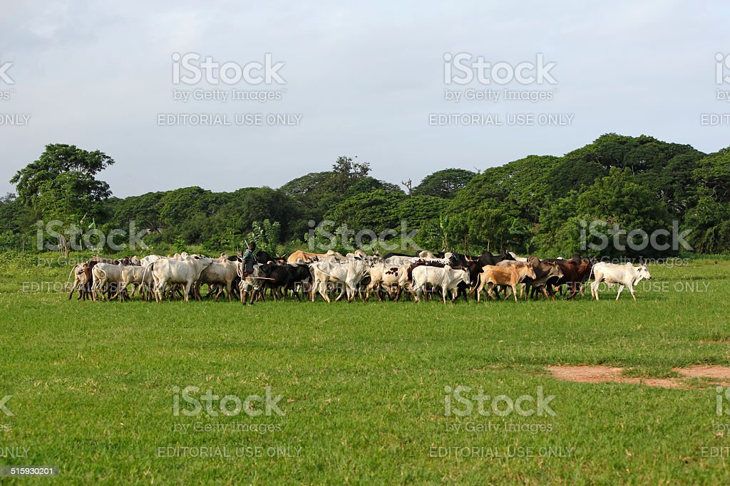 Afrikan cattle between green palms stock photo