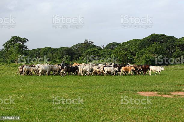 Takoradi, Ghana - June 15, 2014: Afrikan cattle between green palms on the way to a new meadow