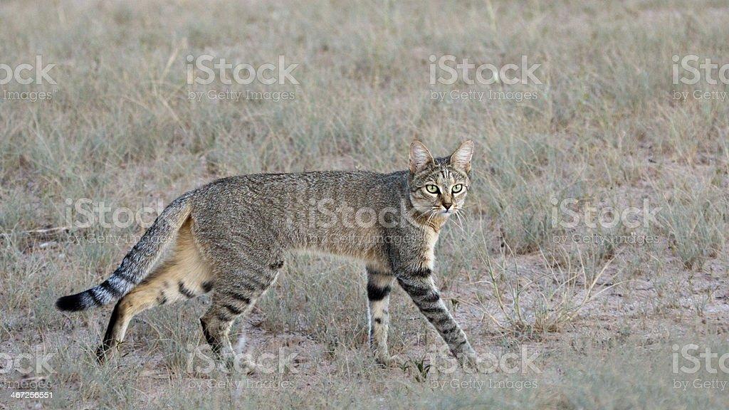 Afrikanische Wildkatze, Falbkatze, Felis lybica, African wild cat royalty-free stock photo