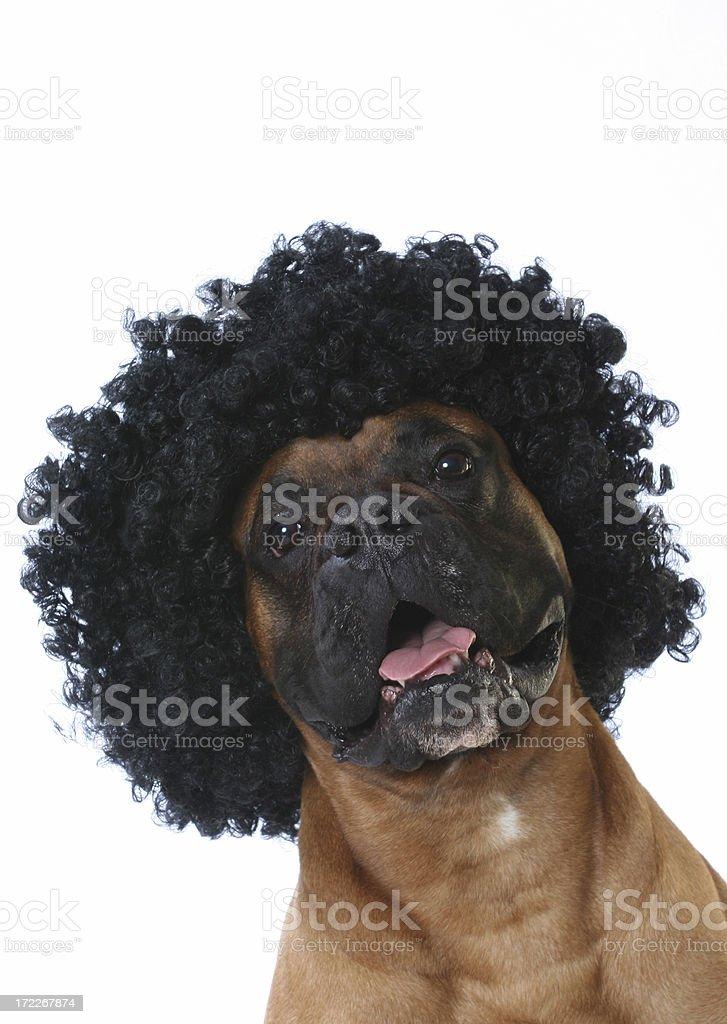 Afro dog royalty-free stock photo