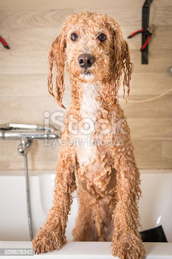 Dog grooming a poodle, he is getting a bath