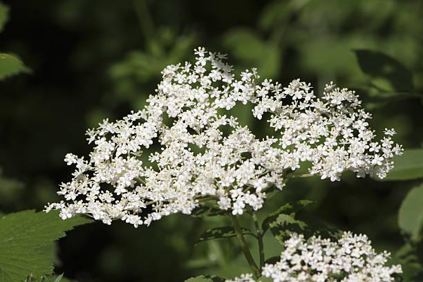 holunderblüten-sambucus nigra für wein und medizin - weißer holunder stock-fotos und bilder