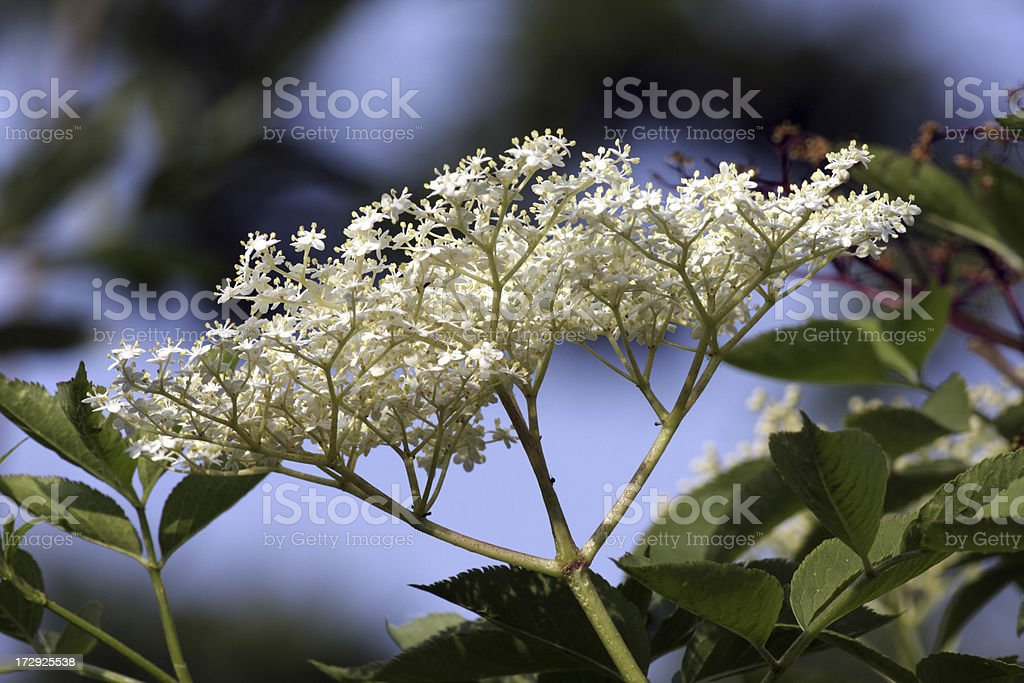 Elderflower flower head Sambucus nigra for wine and medicine royalty-free stock photo