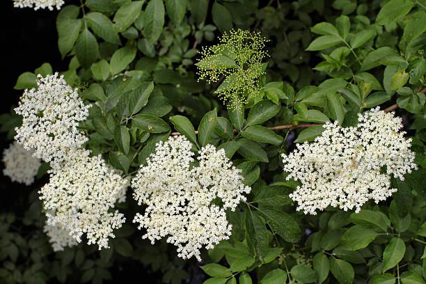 white holunderblüten-sambucus nigra üppig grünen hintergrund - weißer holunder stock-fotos und bilder