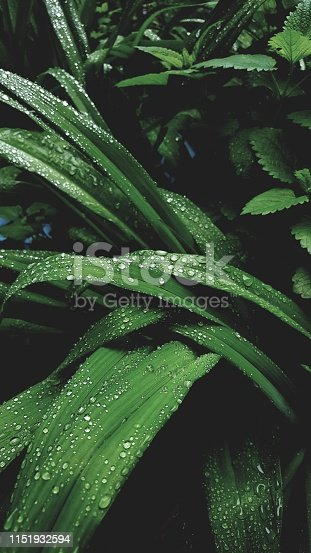 istock After rain Water Drops on Green leaves in the garden Natural pattern background . beauty of nature 1151932594