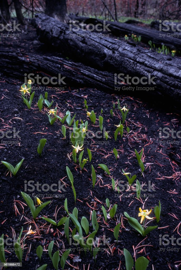 After the Fire - Glacier Lilies stock photo