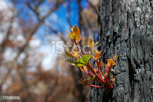New growth sprouting from the charred bark of a burnt tree following a brush fire or bush fire.  The fire was in the Grampian Mountains, Victoria, Australia.