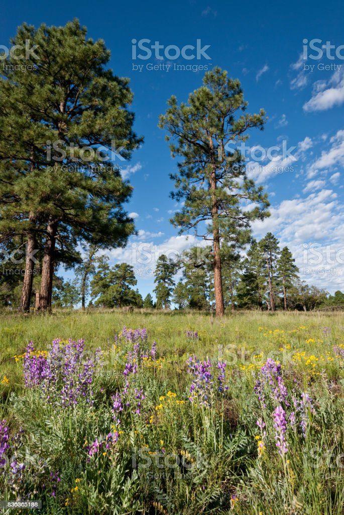 Ponderosa Pines in a Meadow stock photo