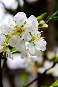 In the early spring after the winter, the plum blossoms in Taiwan are blooming, and the white plum blossoms are elegant and clean.