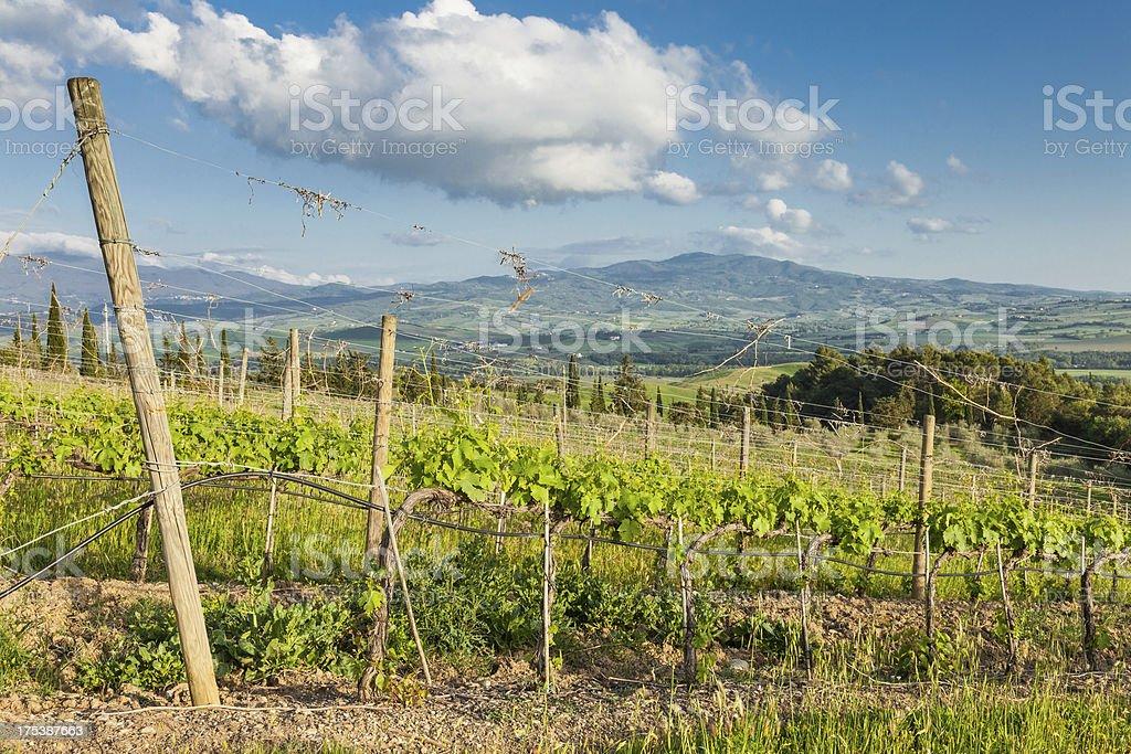 Afternoon at Tuscany vineyards stock photo