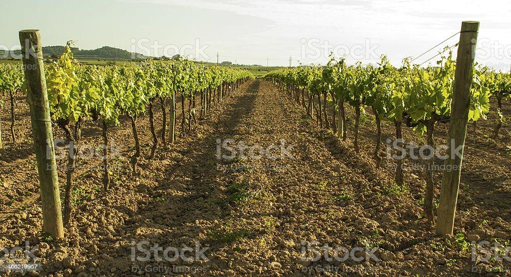 afternoon at vineyard royalty-free stock photo