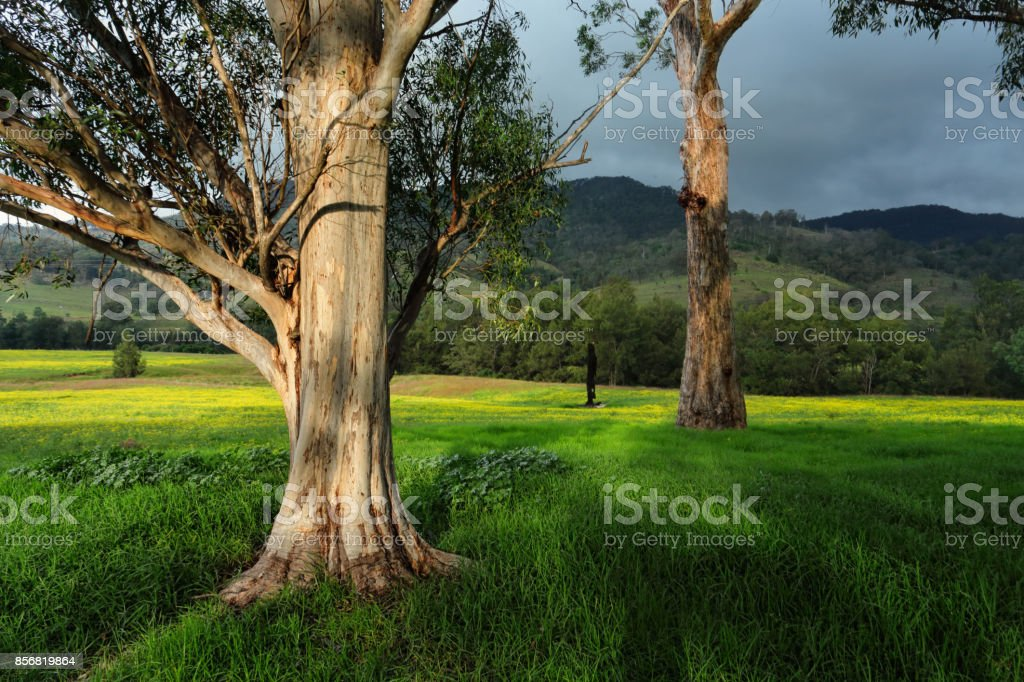 Afternoon sunlight on gum trees stock photo
