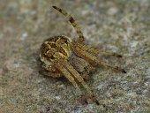 Orbweavers spider