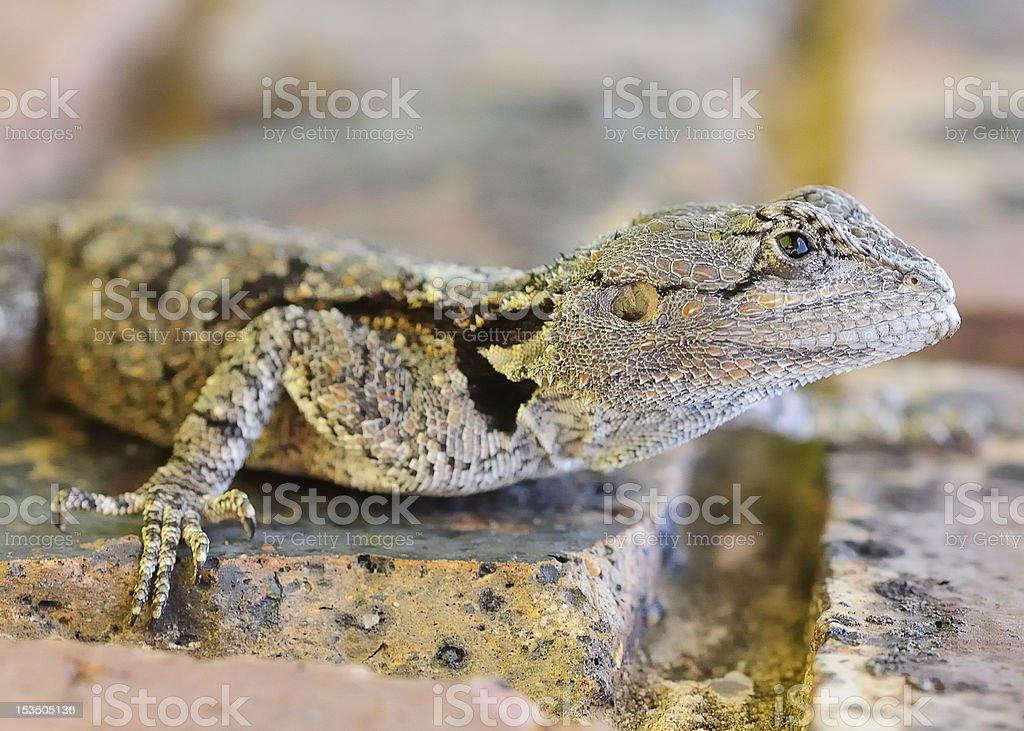 Agama atra royalty-free stock photo