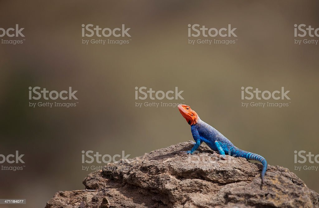 Agama Lizard on Brown, Africa stock photo