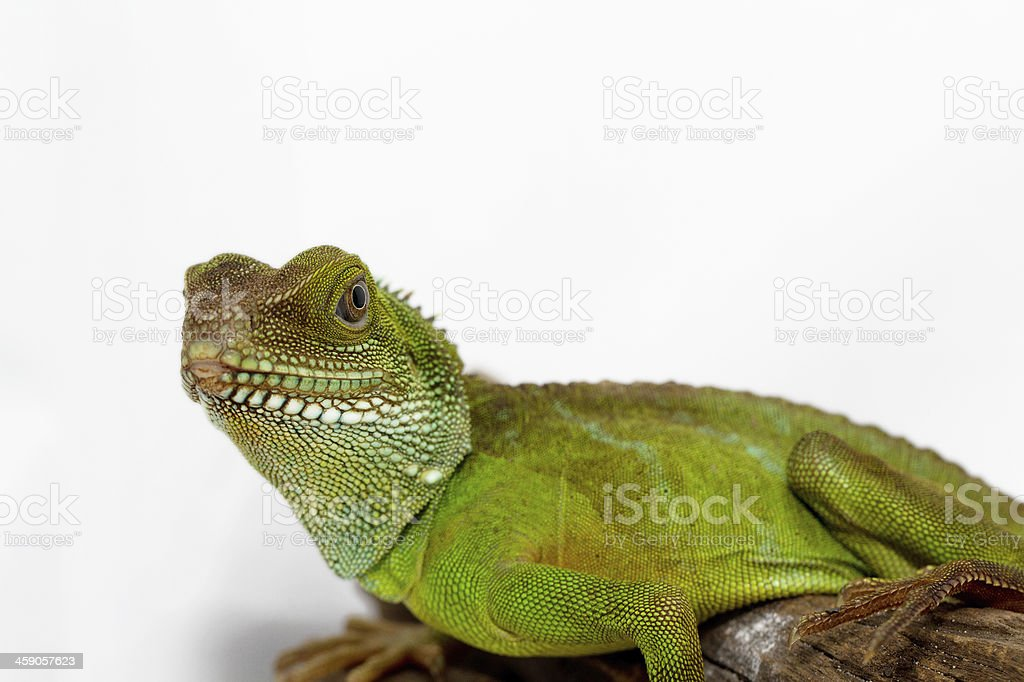 Agama stock photo