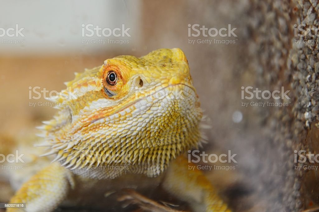 Agamic lizard Central bearded dragon Pogona vitticeps head looking forward next to artificial wall in terrarium stock photo