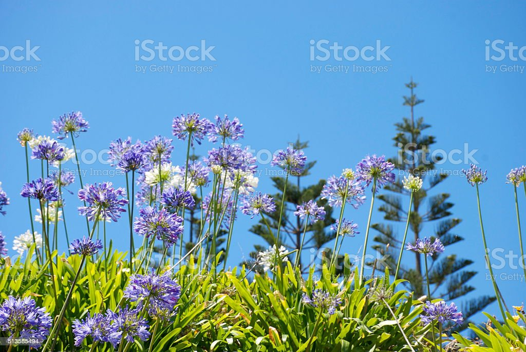 Agapanthus and Sky stock photo