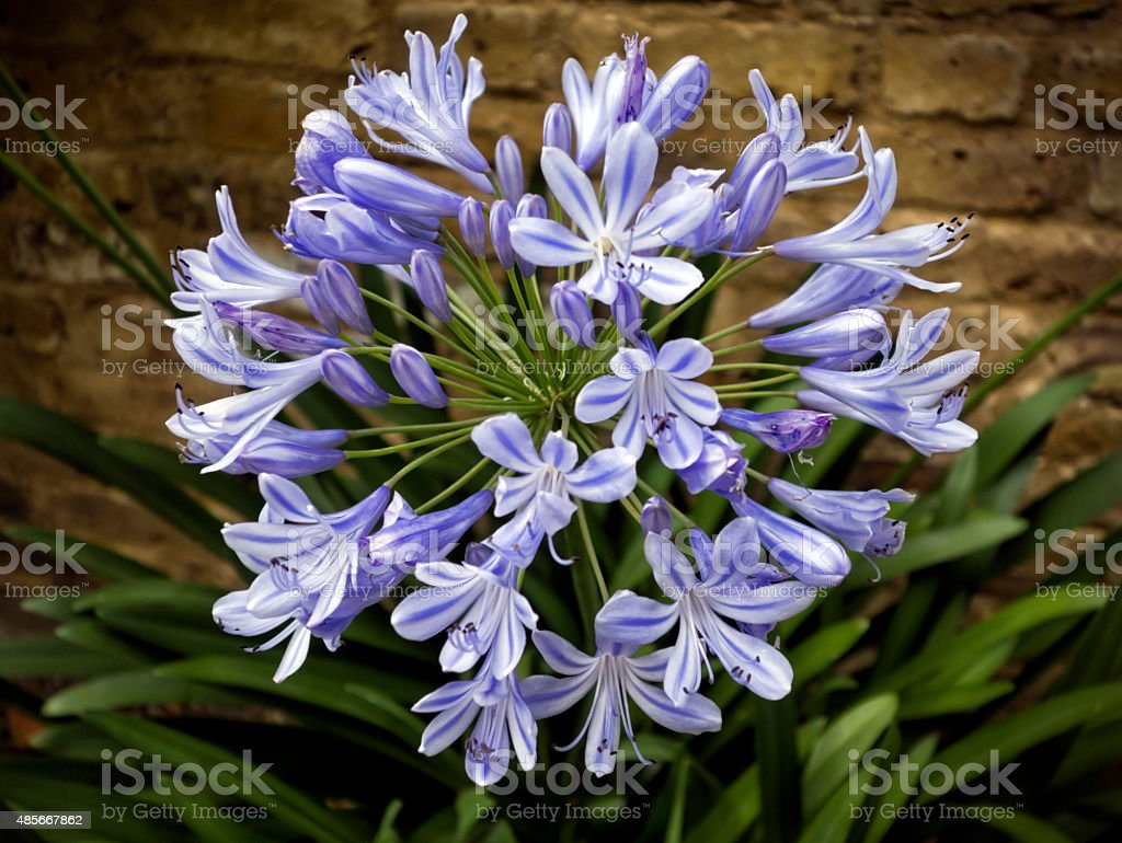Agapanthus flower head stock photo