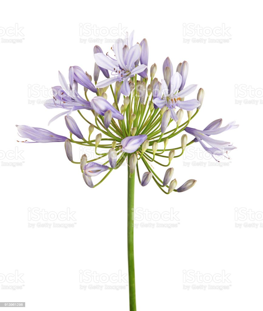 Agapanthus flower lily of the nile also called african blue lily agapanthus flower lily of the nile also called african blue lily flower izmirmasajfo