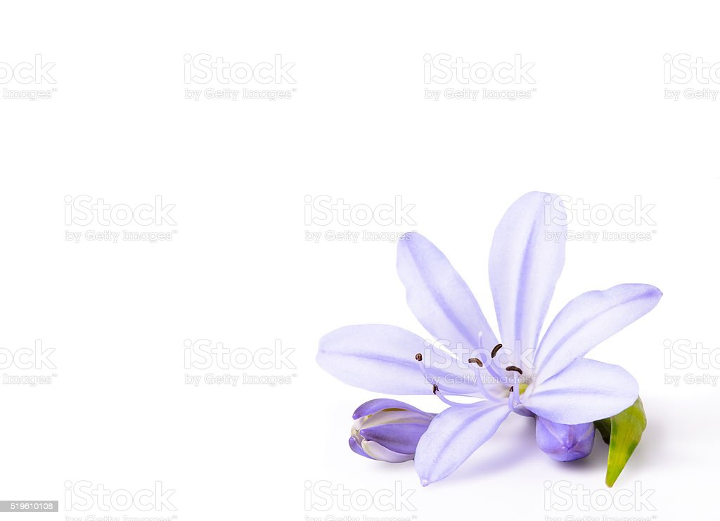 Agapanthus Flower on a White Background. stock photo