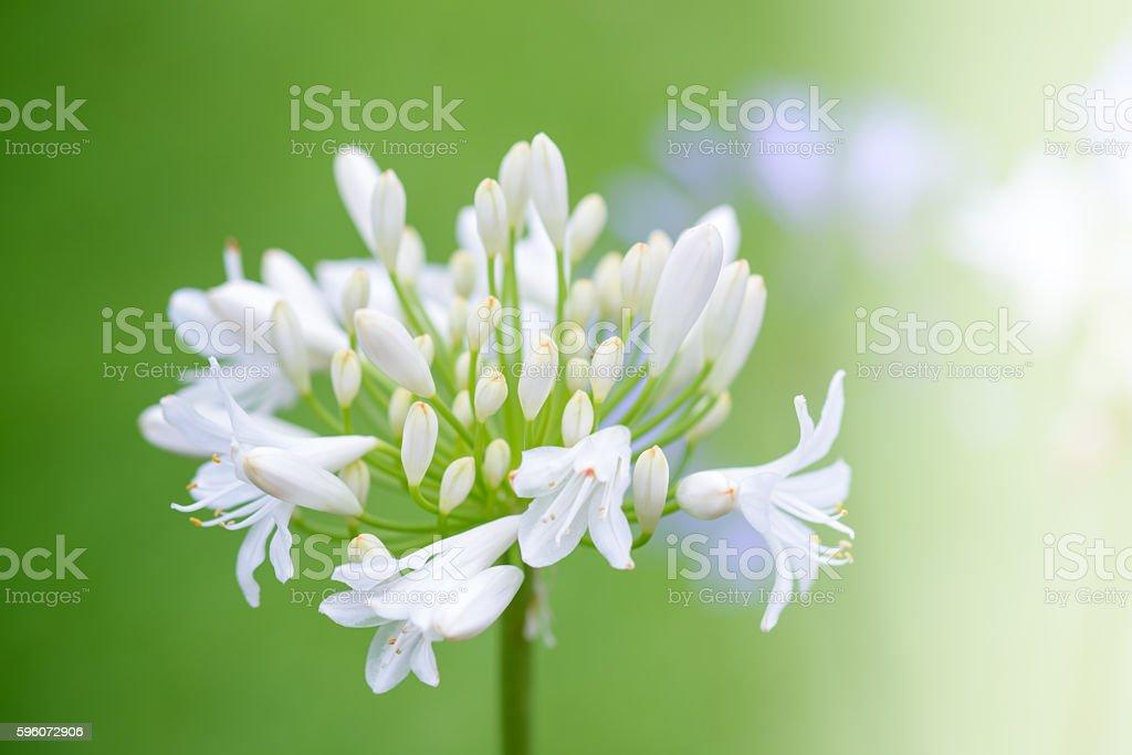 Agapanthus flower royalty-free stock photo