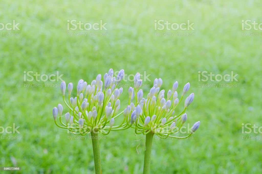 Agapanthus flower royalty-free stock photo