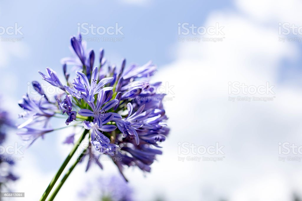 Agapanthus Flowers against a blue sky stock photo