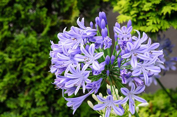 Agapanthus flowers stock photo