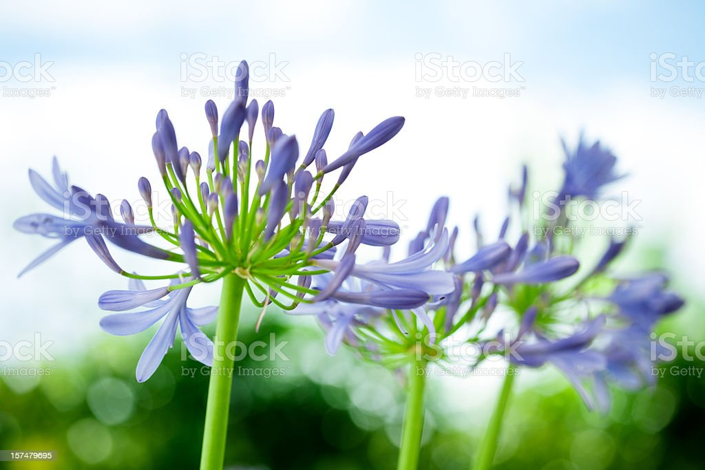 Agapanthus Lily of the Nile Flower Heads stock photo
