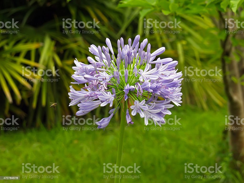 Agapanthus umbrella, African or Nile lily (А. africanus Hoffmgg stock photo