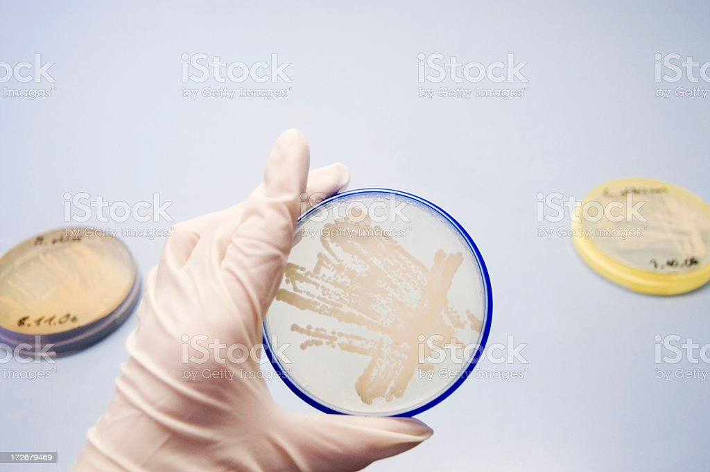 Agar plate with cultivated microorganisms bacteria royalty-free stock photo
